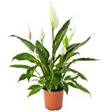 AIRY Einblatt Zimmerpflanze, Spathiphyllum