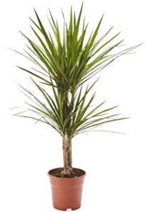 AIRY Drachenbaum Zimmerpflanze