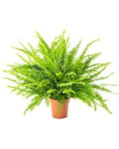 AIRY Schwertfarn Zimmerpflanze